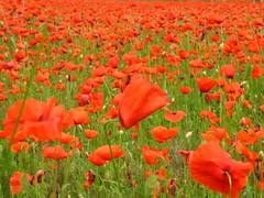 Red carpet (Kiky01) Tags: flowers red wild green love field canon colours emotion vivid explore poppy poppies land feeling papavers golddragon