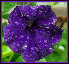 Rainy Delicious Purple (pinecreekartist) Tags: blue macro beauty pa the wellsboro iloveit chiaramonte sunsetandsunrise wellsboropa excapture macroflowerlovers exquisiteflowers screamofthephotographer waterdropsmacros auniverseofflowers awesomeblossoms pinecreekartist tiogacountypachiaramonte