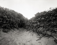 Beach grapes (Eddie La Mole) Tags: playacolorá fajardo beach beachgrapes sand coast blackandwhite monochrome shanghaigp3 cadet4x5 fujinonswd75