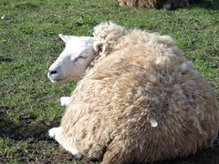 Photo of sheep in the very warm February sun today in Sleaford