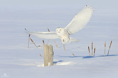 L'atterrissage silencieux du prédateur! Harfangs des neiges-Snowy Owl (Maxime Legare-Vezina) Tags: oiseau bird animal fauna wild wildlife canon québec canada winter hiver snow neige