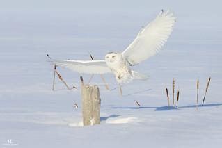 L'atterrissage silencieux du prédateur! Harfangs des neiges-Snowy Owl