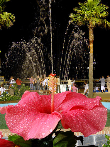 HIBISCUS Fountain the full