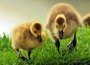 Share (ozoni11) Tags: canada bird nature birds animal animals geese interestingness nikon goose explore goslings gosling waterfowl 82 canadagoose canadageese columbiamaryland d300 interestingness82 i500 lakekittamaqundi canadagoslings canadagosling michaeloberman explore82 ozoni11