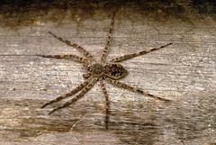 Spider (chasdobie) Tags: ontario canada macro nature insect spider nikon arachnid lanarkcounty watsonscorners