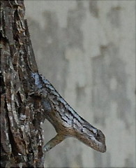 Lizard on Pecan Tree at the Land