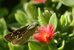 Skiper (David Lev) Tags: plants flower butterfly insect succulent iceplant mygarden soe nirim shieldofexcellence impressedbeauty macromarvels