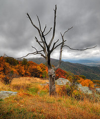 Dead but Alive - Shenandoah National Park (Dwood Photography) Tags: park wood autumn tree fall dead october deadtree national shenandoah soe 2007 deadtrees takeabow blueribbonwinner supershot mywinners abigfave shieldofexcellence superbmasterpiece awesometrees theunforgettablepictures flickrgolfclub dwoodphotography dwoodphotographycom