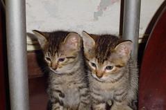 Conjoined twins? (Mel1st) Tags: cat kat chat gata neko katze macska kot kats kedi koshka katt kato kissa kon meo ronronovisky paka kocka fato macka feles pussi negru chatul popoki qit kutjing miston maaoh mistú mickinha mickinhababies