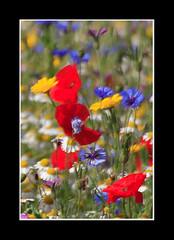 Summer Revisited (strussler) Tags: canon eos sigma 5d flowerscolors widflowers flickrsbest impressedbeauty frhwofavs