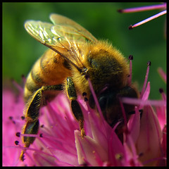 The Color of Honey (ecstaticist) Tags: pink macro nature insect fur gold bravo bee fuzz themoulinrouge naturesfinest magicdonkey flickrsbest