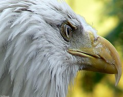 Revamped (Domesticated Diva) Tags: white yellow closeup eagle tennessee beak feathers eyeball coolest soe oakridge picnik 2007 sharpened revamped naturesfinest greatphotographer specanimal golddragon secretcityfestival animalkingdomelite anawesomeshot anawesomecapture impressedbeauty avianexcellence megashot excellentphotographer exemplaryshots adoublefave goldwildlife nginationalgeographicbyitalianpeople dragongoldaward