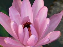 Saluka (Konkani: ) (dinesh_valke) Tags: nymphaeaceae waterlilyfamily tropical aquatic herb nymphaea aambal kalhara kalharpushpam koyakamala kumuda kuvalayamu mangalaubol periyampal saluka sundi tharo wasserlilie waterlily