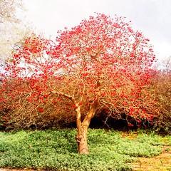 עץ תלאביבי אדום