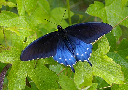 Pipevine-Swallowtail-2