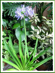 Agapanthus praecox amongst some foliage plants in our tropical garden, shot Jan 2008