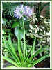 Agapanthus praecox (African Lily, Blue Lily, Lily of the Nile)