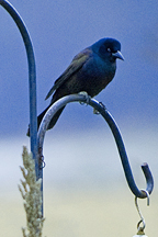 blackbirdblog-1