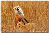 A Thousand Words (8 of 9) (Nikographer [Jon]) Tags: winter red de happy lenstagged nikon jan wildlife january national fox bombay marsh delaware hook nikkor 2008 refuge redfox nwr vulpesvulpes d300 bombayhook bbh 80400mmf4556dvr vulpes bombayhooknationalwildliferefuge bombayhooknwr nikond300 bombayhooknationalwildliferefugedelaware bhnwr 20080126d30010395 jss20081