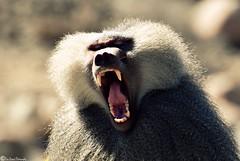 "... BaBoOn ... (ICE DESERT "" Ahmed "") Tags: animal nikon baboon ksa d80 70300vr"