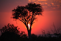 Be My Valentine (acastellano) Tags: africa sunset red sky sun tree topf25 happy day heart kenya safari explore mara valentines anita acacia masaimara interestingness465 top20tree diamondclassphotographer flickrdiamond