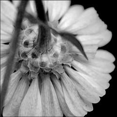 behind (TeeCee[Lif3iS4Fl45H]) Tags: bw fineart fiori bianco nero dietro