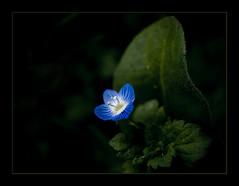 (_Zahira_) Tags: blue flower macro azul lafotodelasemana flor olympus nd e500 uro 35mmmacro p1f1 ltytrx5 ltytr2 ltytr1 ltytr3 lfs032008 naturaleza060508