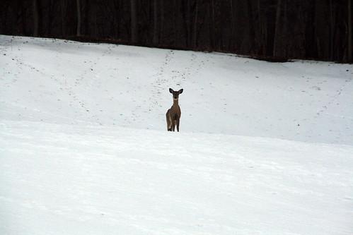 Deer in Back Field