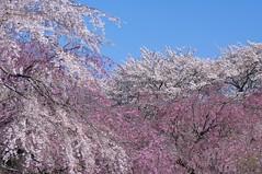 / Bloom riotously with cherry blossoms (Nam2@7676) Tags: japan pentax   tamron 90mm nam2 silkypix   kmount 7676  tamronspaf90mmf28dimacro k20d justpentax tamron90mm272e nam2at7676 yasunarinakamura  nam27676