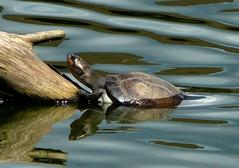 Amazon turtle! (land.nick) Tags: naturesfinest naturescall diamondclassphotographer theunforgettablepictures goldstaraward salveanatureza planetaterraeseusanimaisincrveis