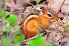 Chipmunck (Micha67) Tags: park michael spring michigan wildlife loveit micha chipmunk farmington schaefer artisticexpression mywinners irresistiblebeauty excellentphotographerawards naturewatcher goldstaraward