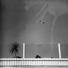 mort egypt (memetic) Tags: sky bw seagulls plant man 120 6x6 birds mediumformat iso100 blackwhite day kodak tl accident tmax melbourne d76 minimalism lying 630 stkilda p6 developing pentaconsix sonnar 180mm noclouds 20degreesc