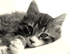 A beautiful cat! (B@rbar@ (Barbara Palmisano)) Tags: pet white black animal cat gato gatto bianco nero animale artedellafoto