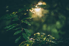 Let there be Light (freyavev) Tags: light sunlight bokeh bokehlicious green greenery branches leaf leaves depthoffield 50mm mikasniftyfifty niftyfifty forest nature vsco fade germany deutschland bayern bavaria prienamchiemsee