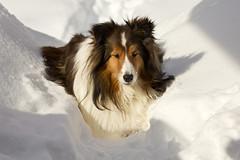 Husky Dog Imitation (SavingMemories) Tags: winter dog snow furry warm sleep snowdrift sheltie keegan snowbank shetlandsheepdog backdeck keegie savingmemories suemoffett