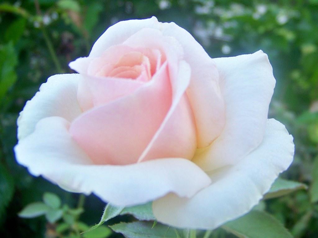pink prom dress rose