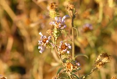 DSC_0015.JPG (webber0075) Tags: autumn usa flower fall nature leaves animals evening leaf colorado brighton purple d200 adamscounty waning commercecity goldenlight nearbarrlake unincorporatedarea