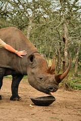 IMG_0350 (Chris D Oakley) Tags: blackrhino sweetwaters morani olpejeta
