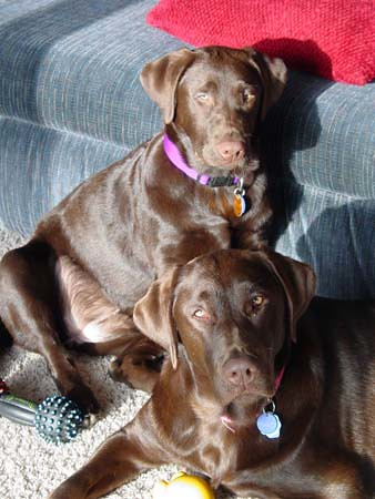 Pretty Chocolate Labs