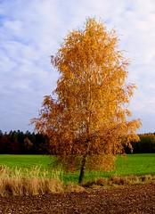 Golden Birch (Claude@Munich) Tags: autumn color colour tree fall germany geotagged bayern bavaria golden laub herbst explore birch baum farben birke claudemunich herbstfrbung abigfave diamondclassphotographer flickrdiamond explore258071105 geo:lat=48012818 geo:lon=11576774