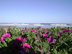 Flowers and Sea (Laila_Flower) Tags: sea flores flower praia beach mar sand areia