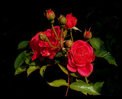 lovely roses (elbfoto) Tags: flowers red roses rot nature natur blumen rosen portfolio soe excellence naturesfinest blueribbonwinner flickrsbest fantasticflower anawesomeshot superbmasterpiece diamondclassphotographer flickrdiamond citrit theunforgettablepictures brillianteyejewel goldstaraward naturemasterclass