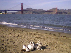 Riley doing his beach thing (Dog Shore) Tags: dog cute dogs puppy fun riley healthy jrt adorable canine adventure terrier goldengatebridge jackrussell jackrussellterrier parson active crissyfield dogwalker dogruns iluvmydog parsonjackrussellterrier parsonrussellterrier dogwalks parsonjackrussell thelittledoglaughed dogrunner dogshore