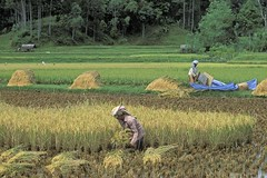 Harvesting crops from irrigated fields (World Bank Photo Collection) Tags: trees food work indonesia workers rice farm farming working harvest crops agriculture worldbank eastasia