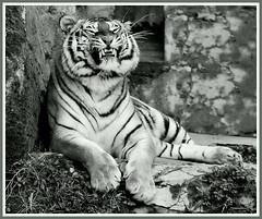 Cheeeeeeese.... (Nespyxel) Tags: animal mammal tiger tigre animale  mammifero   nespyxel stefanoscarselli fotocompetition fotocompetitionbronze pleasedontusethisimageonwebsites blogsorothermediawithoutmyexplicitpermissionallrightsreserved