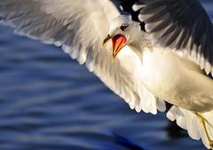 Broadcasting News (Sevastopol) Tags: bird nikon seagull gull nikkor larus d300 topshot wonderworld  featheryfriday 10faves  25faves seenability  avianexcellence  onlythebestare bfgreatesthits bfgreatesthits betterthangood panoramafotogrfico