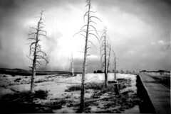 yellowstone trees (bizabiz) Tags: yellowstone deadtrees