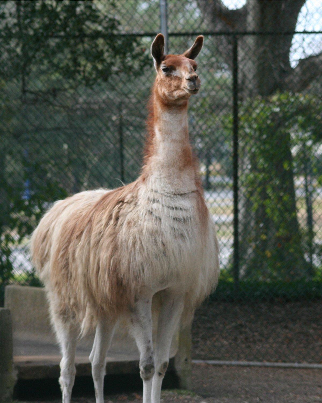 картинка лама животное