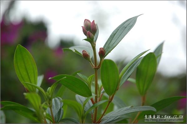 DSC_7355野牡丹