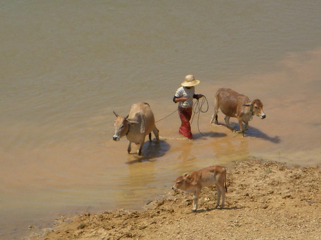 ganado en el rio